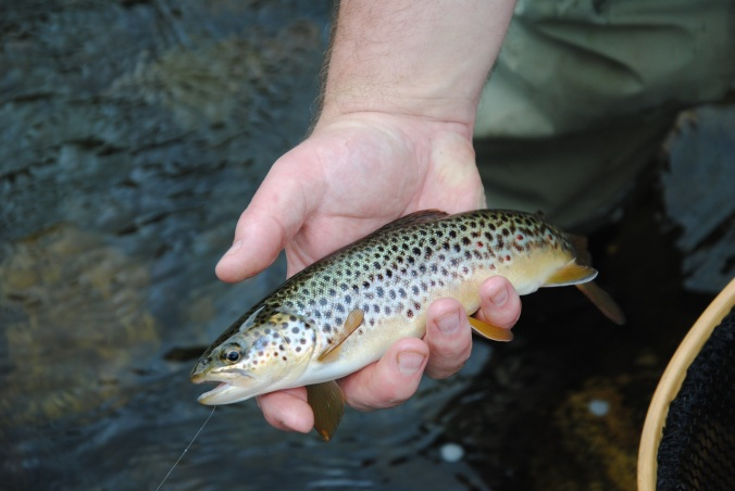 12in Deveron Brownie taken on the surface. the most inspiring way to Fly Fish